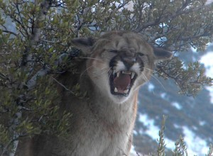 Mountain Lion Attacks Son. Dad Attacks Mountain Lion.