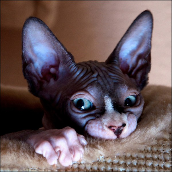 Sphynx Cats - Cats Without Fur (1)