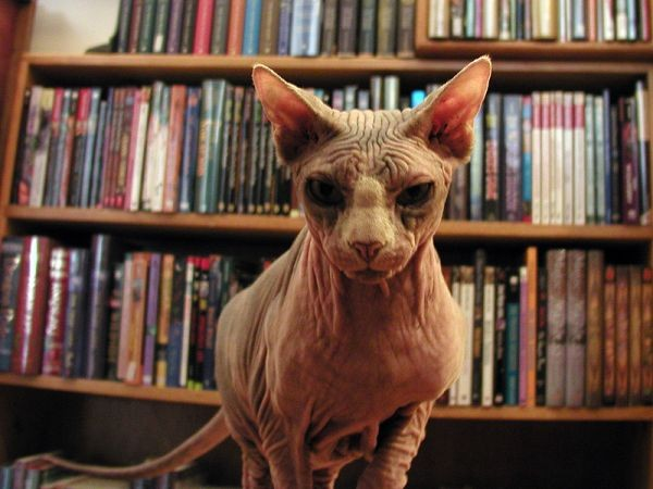 Sphynx Cats - Cats Without Fur (10)