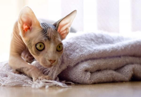 Sphynx Cats - Cats Without Fur (12)