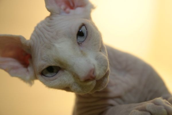 Sphynx Cats - Cats Without Fur (13)