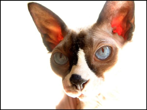 Sphynx Cats - Cats Without Fur (16)