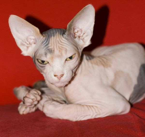 Sphynx Cats - Cats Without Fur (17)