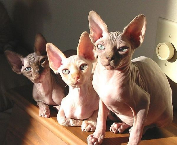 Sphynx Cats - Cats Without Fur (18)