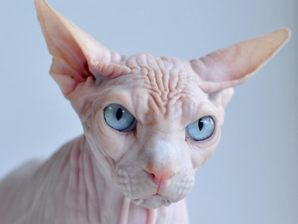 Sphynx Cats - Cats Without Fur (20)