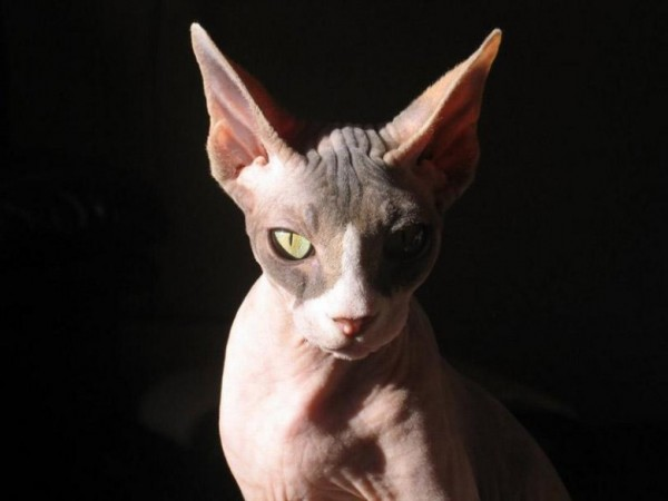 Sphynx Cats - Cats Without Fur (21)