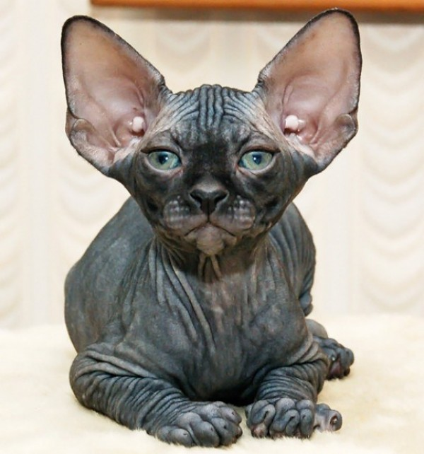 Sphynx Cats - Cats Without Fur (22)