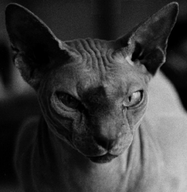 Sphynx Cats - Cats Without Fur (25)