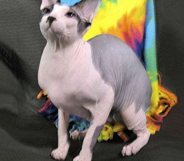 Sphynx Cats - Cats Without Fur (29)