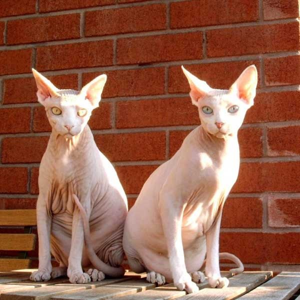 Sphynx Cats - Cats Without Fur (30)