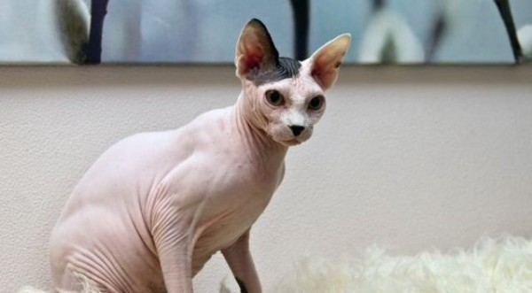 Sphynx Cats - Cats Without Fur (31)