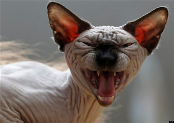 Sphynx Cats - Cats Without Fur (32)