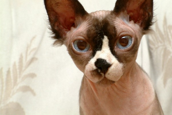 Sphynx Cats - Cats Without Fur (34)