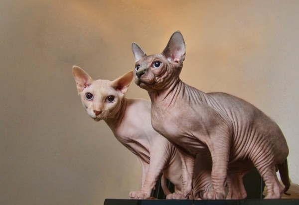 Sphynx Cats - Cats Without Fur (35)