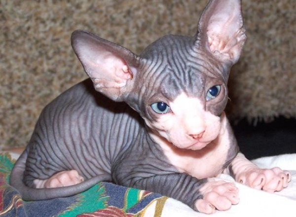 Sphynx Cats - Cats Without Fur (37)
