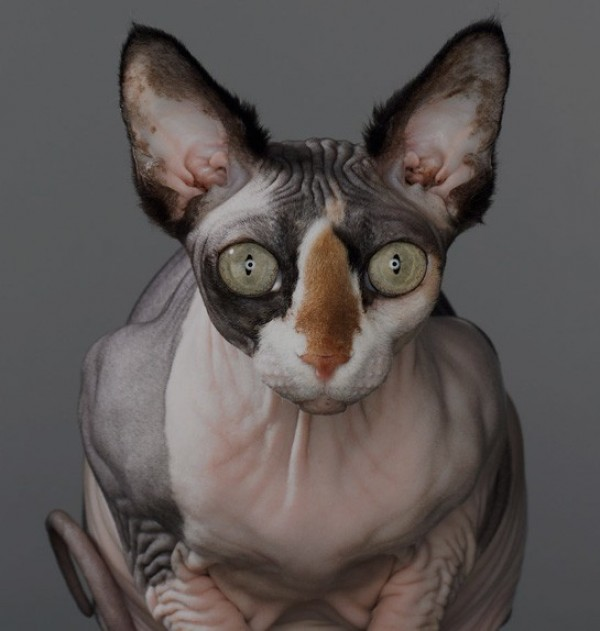 Sphynx Cats - Cats Without Fur (39)
