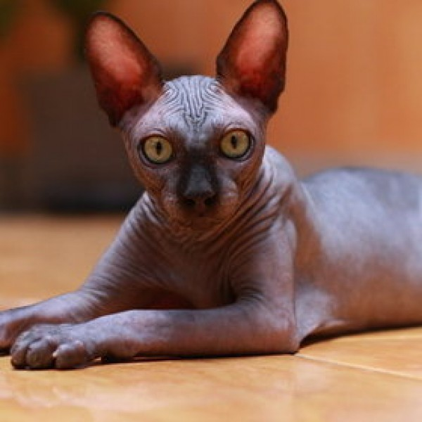 Sphynx Cats - Cats Without Fur (41)