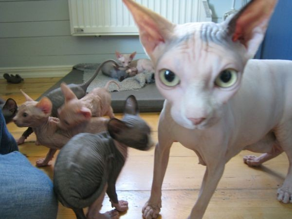 Sphynx Cats - Cats Without Fur (5)