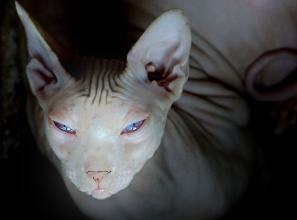 Sphynx Cats - Cats Without Fur (9)